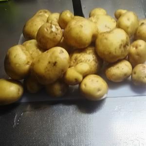 我が家の新ジャガイモ 3株 奥さんが掘りとった