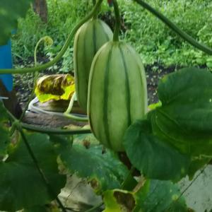 ビニールハウス栽培 メロンの仲間 カンロ今年不作