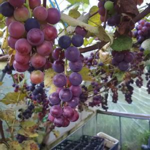 ブドウの粒どり収穫 房は完熟不揃い 我が家で食べる粒ブドウ