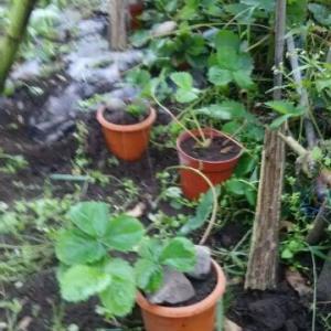 最後の苺ランナー取り 奥さんが植えた12株
