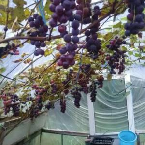 ビニールハウスのブドウ キャンベル 食べ頃 甘くなった