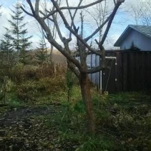 10年位 収穫なしのスモモ ばっさり枝を切った