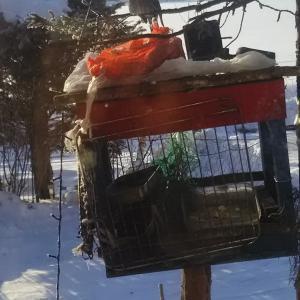野鳥餌台 朝飯時に カケス ひよどり アカゲラと中型も脂身朝飯