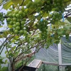 ブドウがブドウらしくなってきた ハウスに秋がきた…。