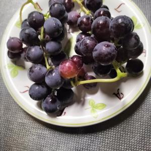 我が家のビニールハウス育ちブドウ キャンベル朝の果物
