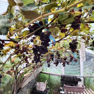 ブドウ楽しみな収穫 色付いてきた