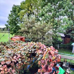 2階から山ぶどう 赤くなっている秋だ