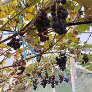 ハウスのブドウ キャンベル毎日食べられる幸せ