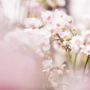 Dendrobium Saitoh Takumi