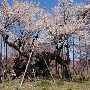 【桜】お花見ツーリング論 最も綺麗な桜の名所1選【満開】