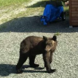 南富良野町幾寅の民家の庭に熊! 動画撮影に成功! というか怖いって!