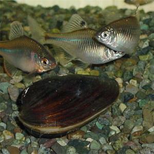 たなごの繁殖に適した二枚貝の種類や飼育について【貝飼育入門編】