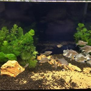 タナゴに水草を引っこ抜かれない様に植える方法!金魚藻を植えてみた