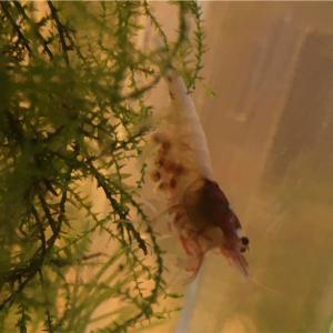 稚エビが孵化をする前に1%でも生存率を上げる対策をしよう!