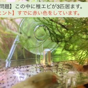 レッドピントシュリンプが孵化しました!稚海老の様子と育成の注意点を公開!