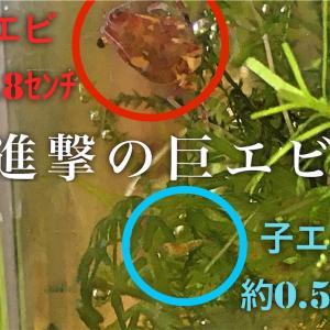 レッドピントシュリンプ稚エビの生存率を上げるコツと孵化後3日の様子