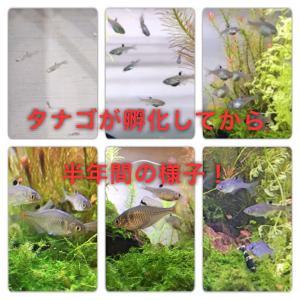 タナゴの稚魚を飼育しよう!半年間の成長を画像と一緒に詳しく解説!