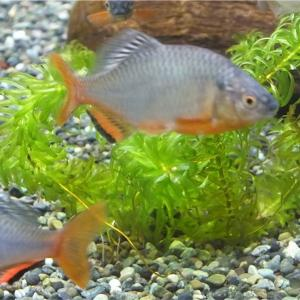 ミヤコタナゴの特徴 外観・飼育・繁殖・釣り情報を詳しく解説!