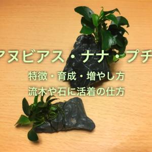 アヌビアスナナ・プチ流木や石への活着方法!増やし方や育て方も!