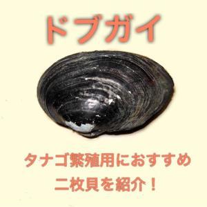 ドブガイ タナゴ繁殖用におすすめの二枚貝を紹介!