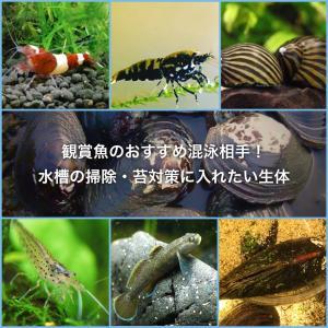 観賞魚のおすすめ混泳相手!水槽の苔対策に入れたい貝やエビを紹介
