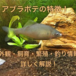 アブラボテの特徴!外観・飼育・繁殖・釣り情報を詳しく解説!