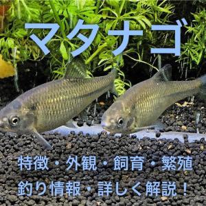 マタナゴの特徴・外観・飼育・繁殖・釣り情報を詳しく解説!