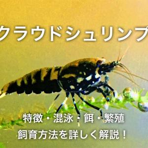 クラウドシュリンプの特徴や飼育方法・混泳・餌・繁殖を詳しく解説!