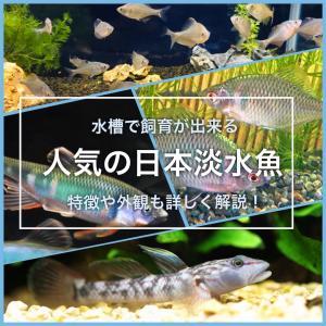 水槽で飼育が出来る人気の日本淡水魚の種類を紹介!特徴も詳しく解説
