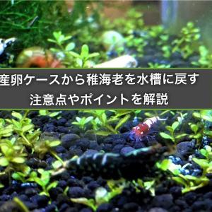 シュリンプの稚エビを産卵ケースから水槽に移す際の時期や注意点とは