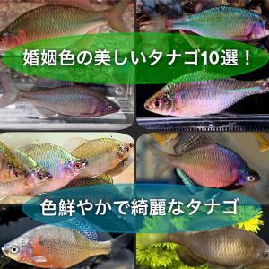 美しいタナゴ10選!きれいなタナゴの婚姻色を種類毎に紹介!