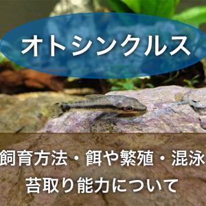 オトシンクルスの飼育方法!餌や繁殖・混泳・苔取り能力について