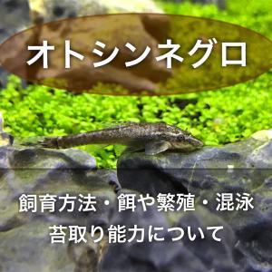 オトシンネグロの飼育方法!穏やかで混泳も可能!人気の苔取り熱帯魚