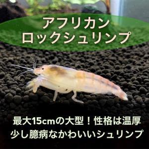 アフリカンロックシュリンプ~特徴・飼育・餌・寿命・混泳について~