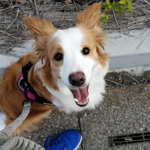 【中型犬におすすめ】使いやすくて耐久性のあるハーネス!選び方のポイント紹介!