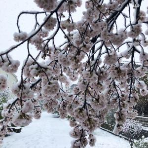 満開の桜に積る雪_2020春分