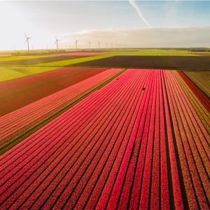 世界最大級にして超穴場!チューリップ畑といえば「ザイプ(Zijpe)」です【オランダ】