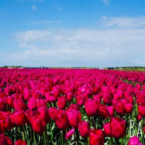 オランダでチューリップ畑といえばキューケンホフ?ではなくて、ザイプです!