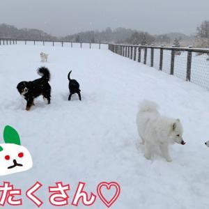 遠征だぜぃ!えんやこら〜!フワフワ雪にテンションUPの大型ワンズ(*^▽^*)/