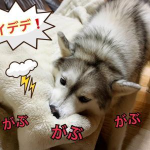 アムアムが止まらない!毛布が大好きな赤ちゃんシベリアン〜(о´∀`о)
