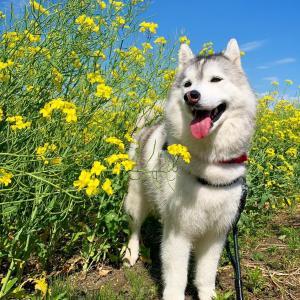 っか〜!スカスカ…出遅れ感たっぷりの菜の花畑in 安平町(@_@)