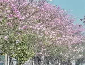 ムンバイの桜並木