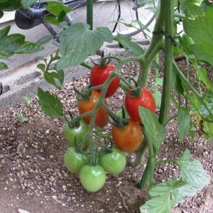 今年のトマトは最高に出来が良い!色付き始めました。