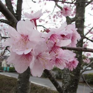 ハイハイ‼またまた行ってきました?梅は~散ったが桜は満開・・・