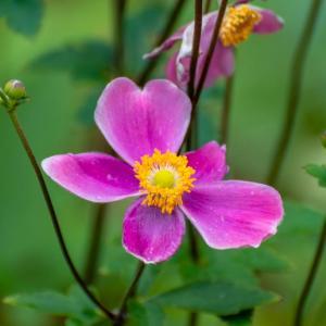 昭和記念公園 日本庭園の秋明菊