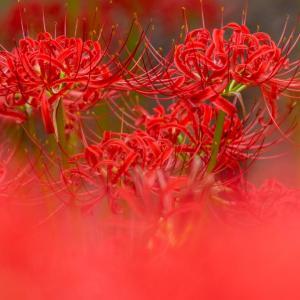 昭和記念公園 眺めのテラス南西花壇の彼岸花