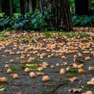 昭和記念公園 はやくも銀杏の臭いが・・・