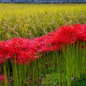 日本の秋の風景 稲穂と彼岸花