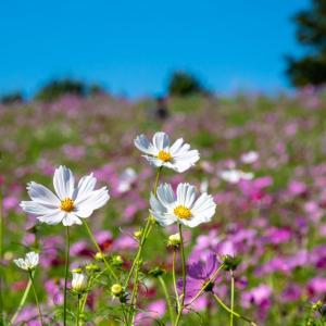 昭和記念公園 花の丘のコスモス・センセーション(10月5日)