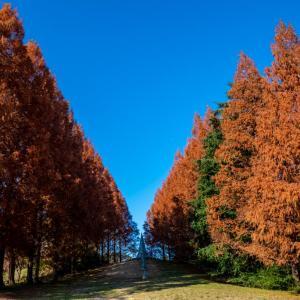 昭和記念公園 メタセコイアの紅葉(12/14)